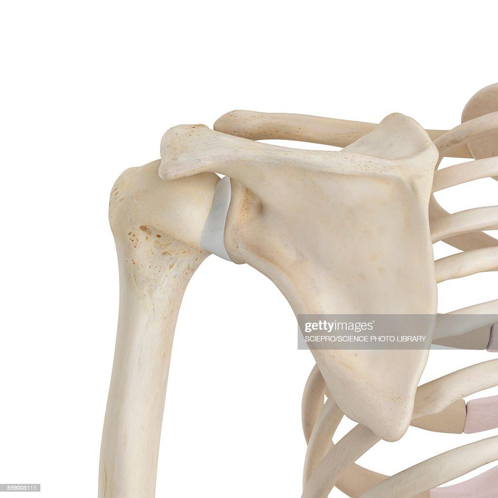 Human Shoulder Bones Illustration Stock Illustration Getty Images