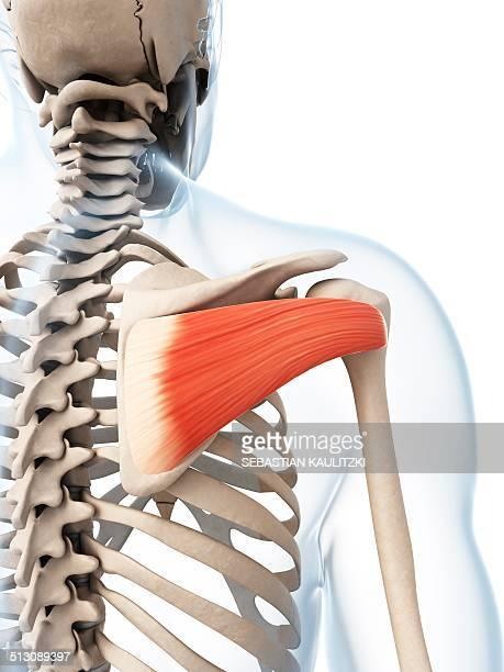 Human shoulder muscle, artwork