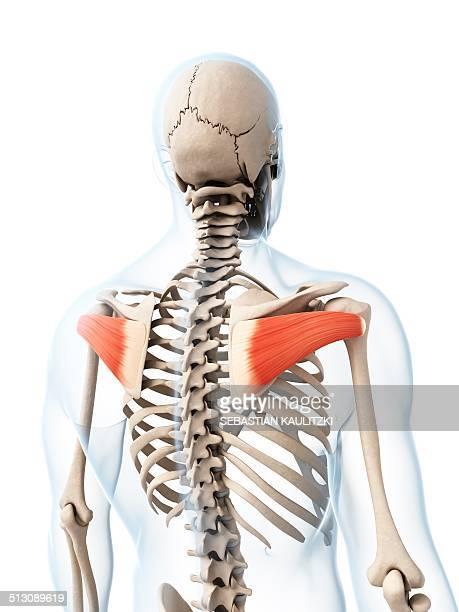 human shoulder muscles, artwork - infraspinatus stock illustrations, clip art, cartoons, & icons