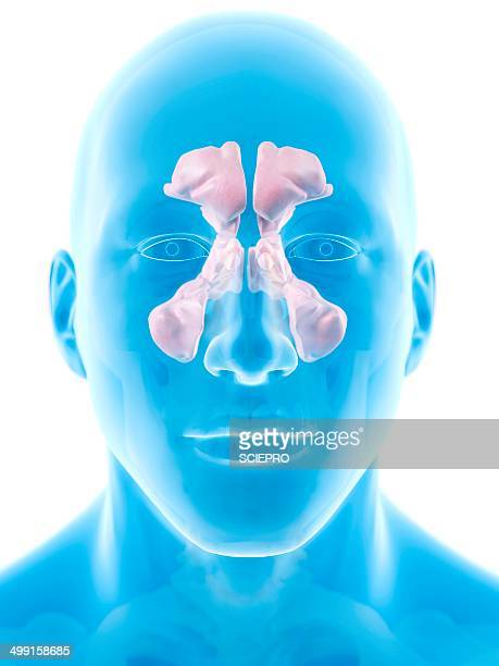 human sinuses, artwork - sinus stock illustrations