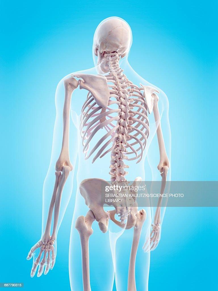 Human Skeletal Structure Illustration Stock Illustration Getty Images