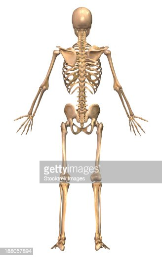 homeostasis of skeletal and muscular systems How does the skeletal system contribute to homeostasis  the skeletal system  how does the neuroendocrine system work with other systems to maintain homeostasis.