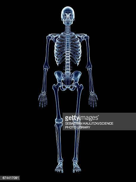 ilustraciones, imágenes clip art, dibujos animados e iconos de stock de human skeletal system - esqueleto humano