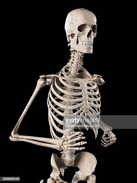 ilustraciones, imágenes clip art, dibujos animados e iconos de stock de human skeletal system, illustration - esqueleto humano