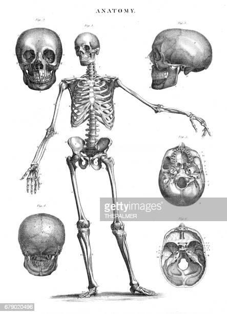 ilustraciones, imágenes clip art, dibujos animados e iconos de stock de anatomía humana esqueleto grabado 1878 - esqueleto humano
