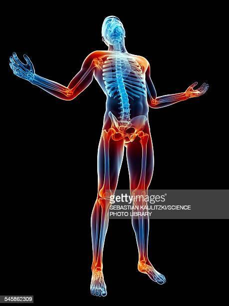 Human skeleton and joints, illustration