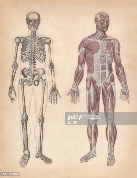 ilustraciones, imágenes clip art, dibujos animados e iconos de stock de human skeleton and muscles, hand-coloured engraving, published in 1861 - anatomía