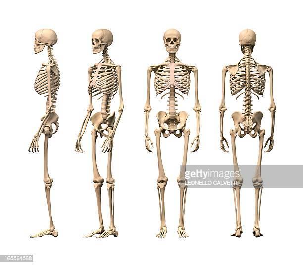 ilustraciones, imágenes clip art, dibujos animados e iconos de stock de human skeleton, artwork - esqueleto humano
