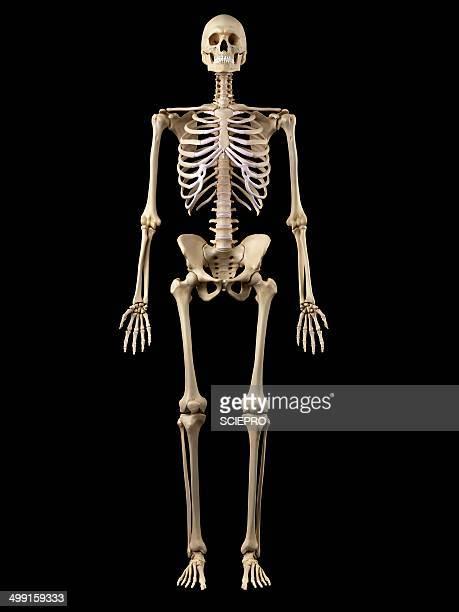 human skeleton, artwork - human skeleton stock illustrations