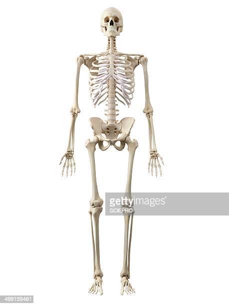 Ilustraciones de Stock y dibujos de Esqueleto Humano | Getty Images