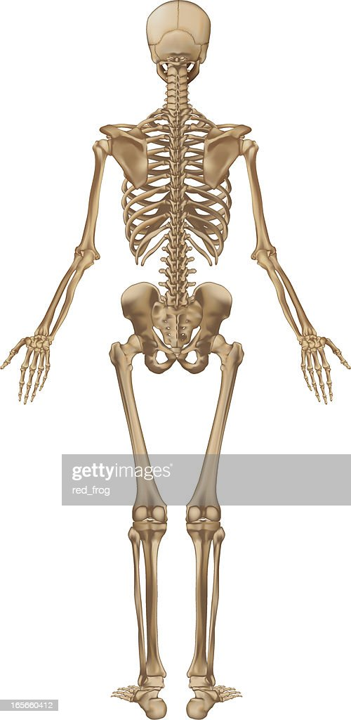 Human Skeleton Back View Vector Art | Getty Images
