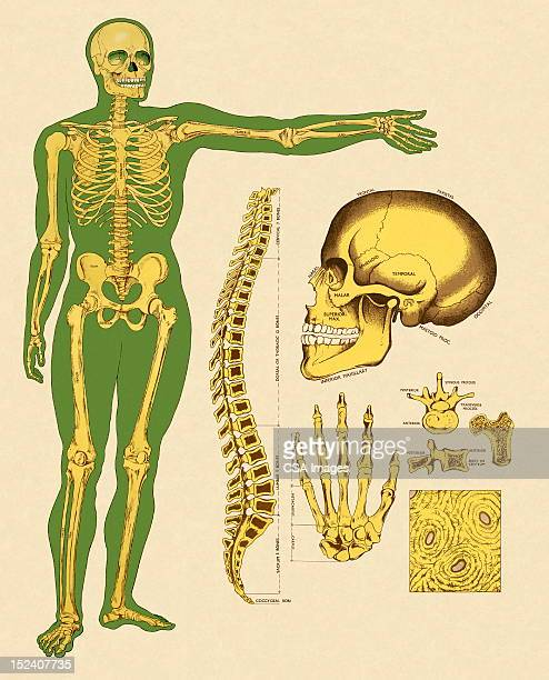 ilustrações, clipart, desenhos animados e ícones de esqueleto humano bones - osso humano