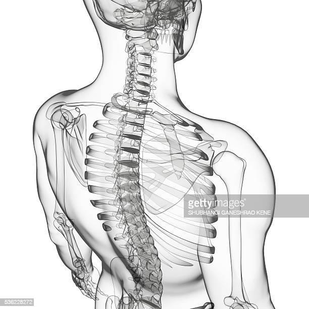 human skeleton, computer artwork. - translucent stock illustrations