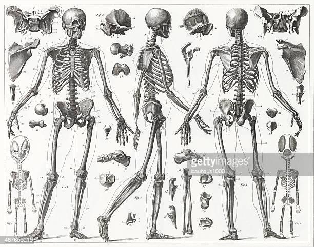 ilustraciones, imágenes clip art, dibujos animados e iconos de stock de esqueleto humano grabado - esqueleto humano
