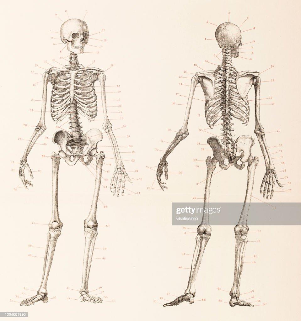 Humano esqueleto frontal y posterior ilustración : Ilustración de stock