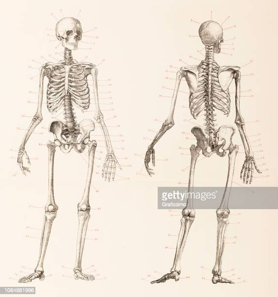 human skeleton front and back illustration - anatomie stock illustrations
