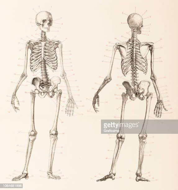 ilustraciones, imágenes clip art, dibujos animados e iconos de stock de humano esqueleto frontal y posterior ilustración - esqueleto humano