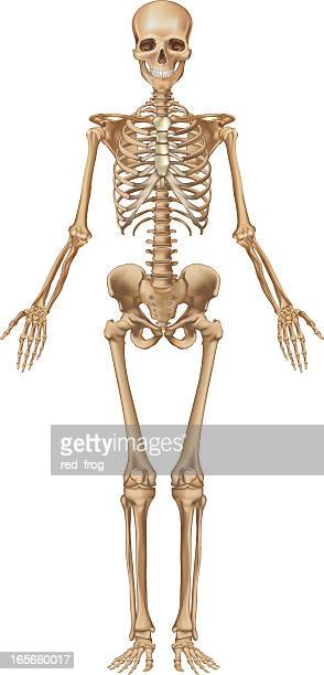 human skeleton, front view - skeleton stock illustrations, clip art, cartoons, & icons