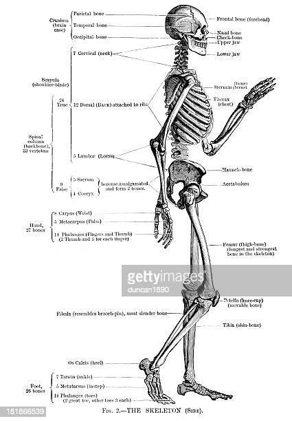 ilustraciones, imágenes clip art, dibujos animados e iconos de stock de esqueleto humano - human body part