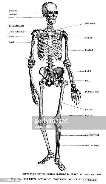 人間の骨格 - 人体図点のイラスト素材/クリップアート素材/マンガ素材/アイコン素材