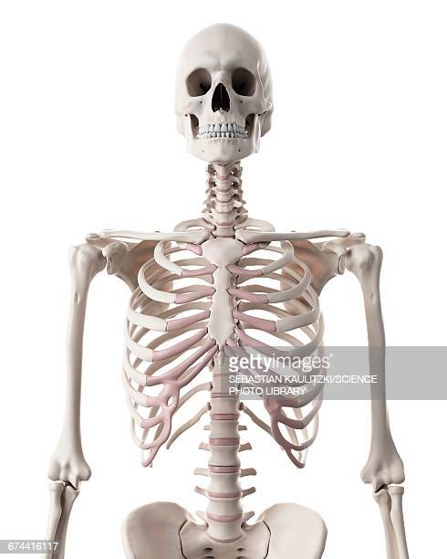 human skeleton - human body part stock illustrations, clip art, cartoons, & icons