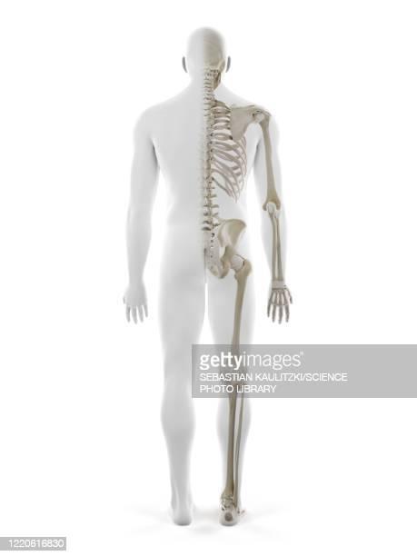 human skeleton, illustration - human back stock illustrations