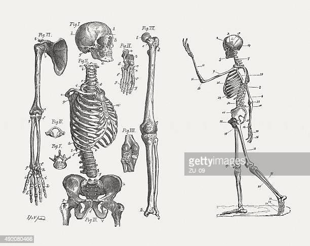 illustrazioni stock, clip art, cartoni animati e icone di tendenza di scheletro umano, pubblicata nel 1884 - homo sapiens
