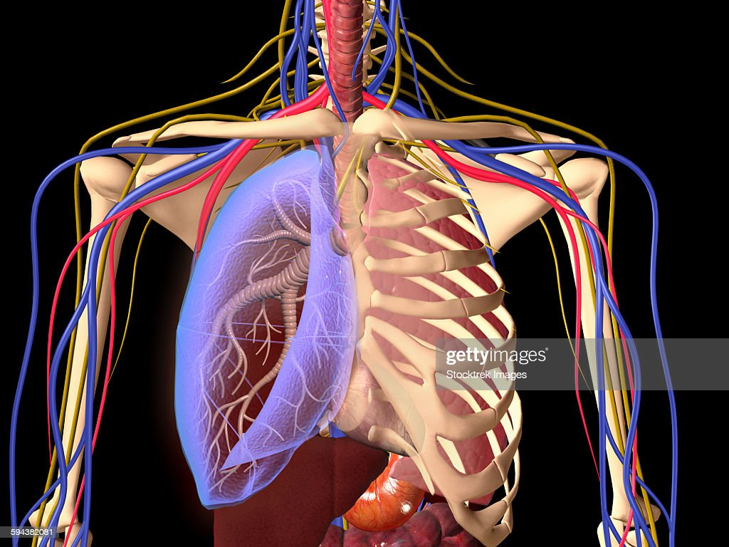 Human skeleton showing a transparent lung with surrounding rib cage human skeleton showing a transparent lung with surrounding rib cage and nervous system stock ccuart Image collections