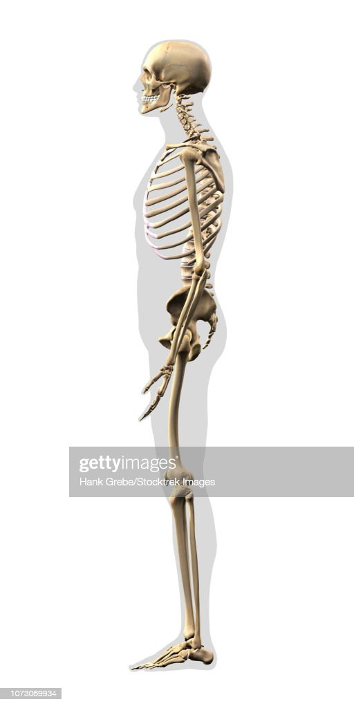 Human Skeleton Side View On White Background Stock Illustration