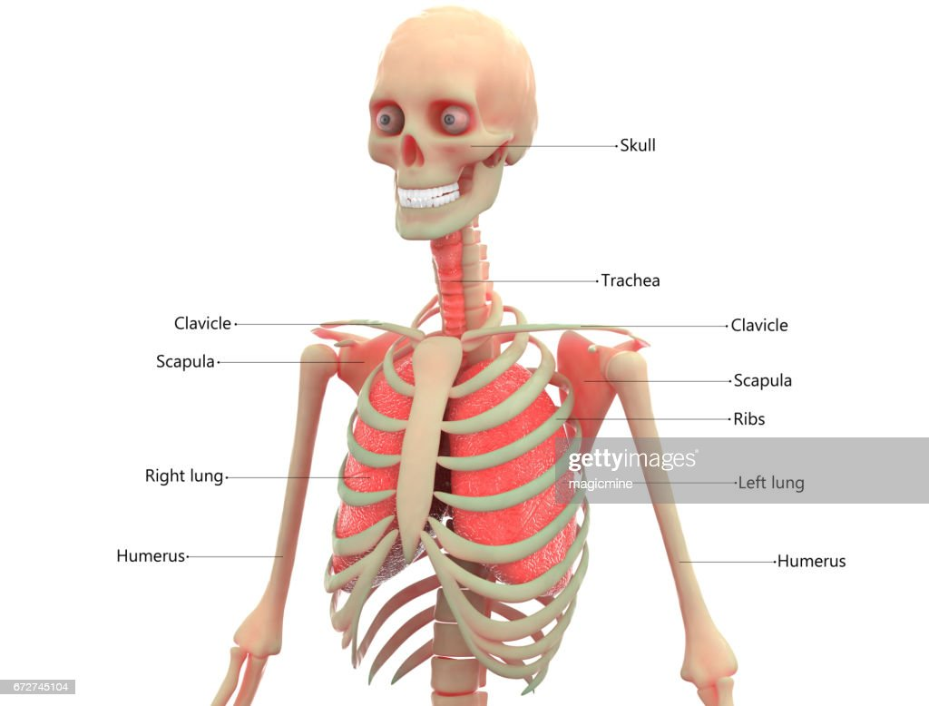 Human Skeleton With Lungs Anatomy Stock Illustration Getty Images