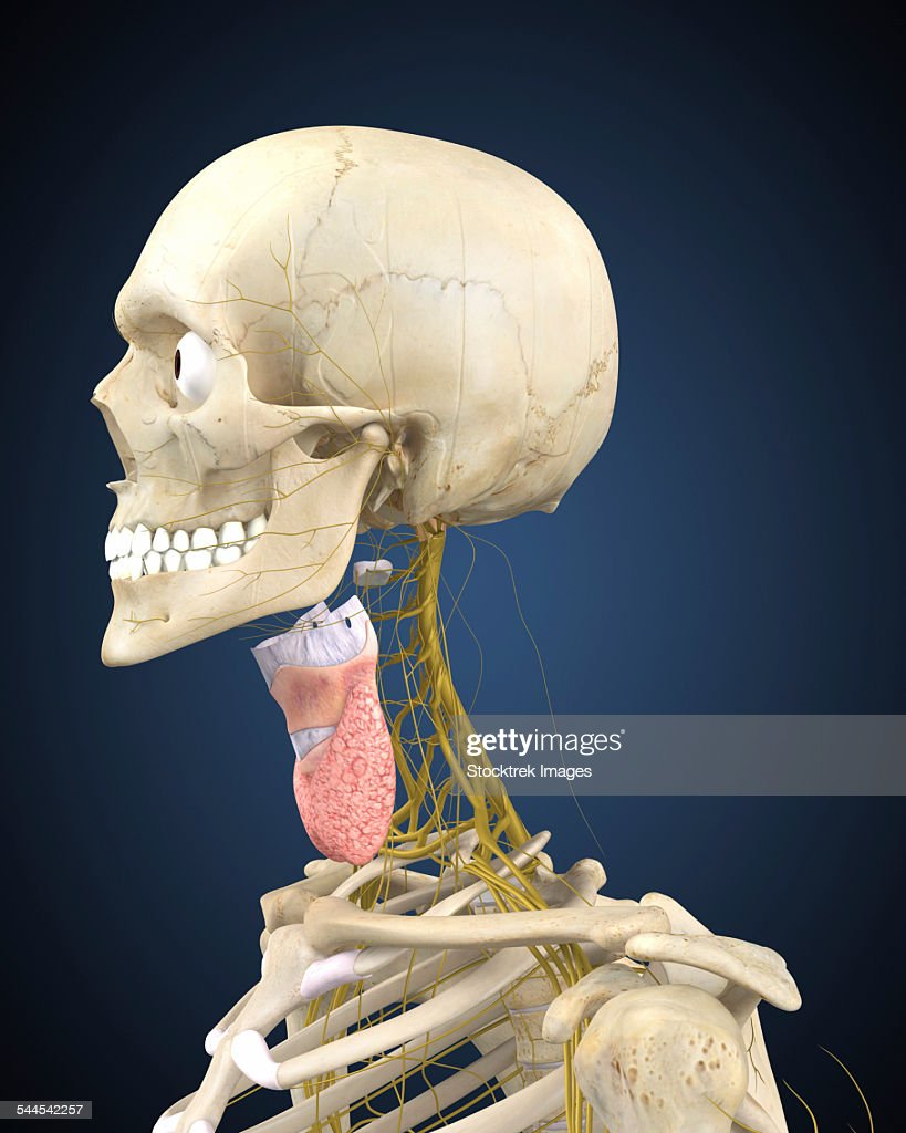 Human Skeleton With Nervous System And Larynx Organ Of Neck Stock