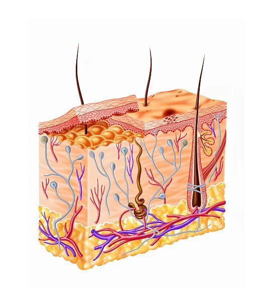 Human Skin Anatomy, Artwork Wall Art