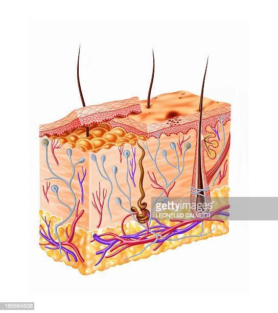 human skin anatomy, artwork - dermis stock illustrations