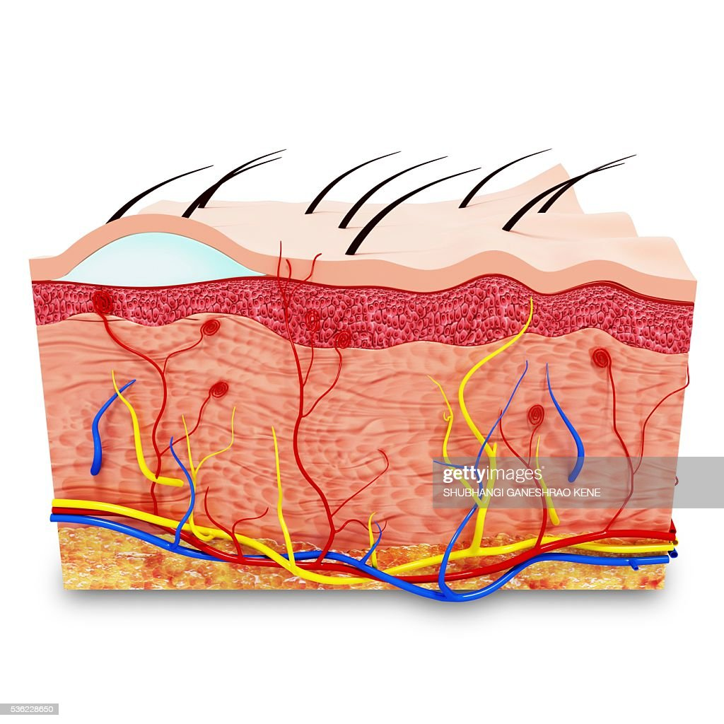 Human Skin Anatomy Computer Artwork Stock Illustration Getty Images