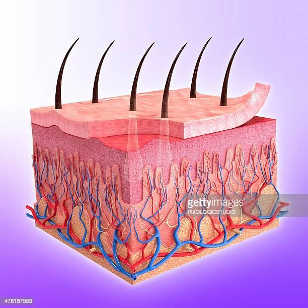 human skin, artwork - layers of skin stock illustrations
