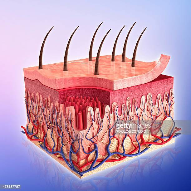 human skin, artwork - tissue anatomy stock illustrations, clip art, cartoons, & icons