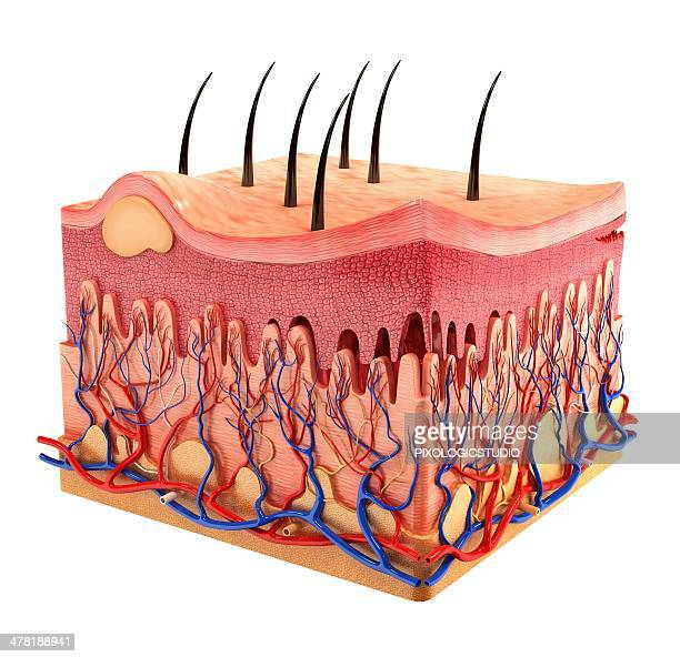 human skin, artwork - cross section stock illustrations