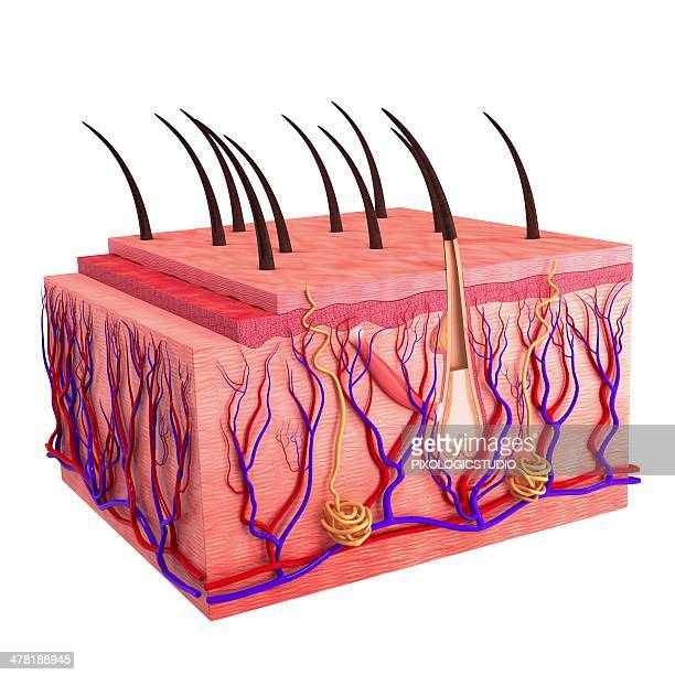 human skin, artwork - sweat gland stock illustrations, clip art, cartoons, & icons