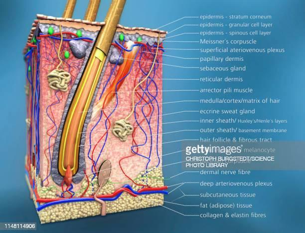 human skin, illustration - dermis stock illustrations