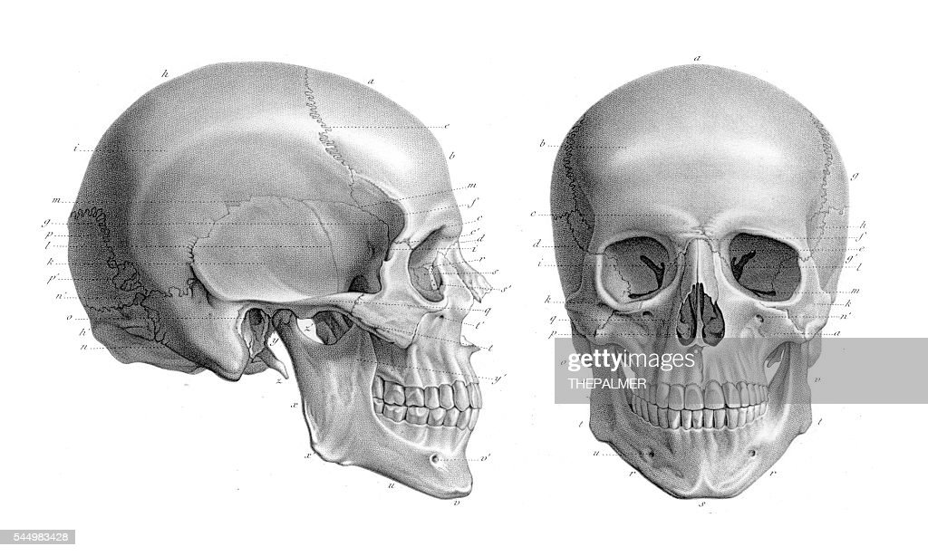 Human Skull Anatomy Illustration 1866 Stock Illustration | Getty Images