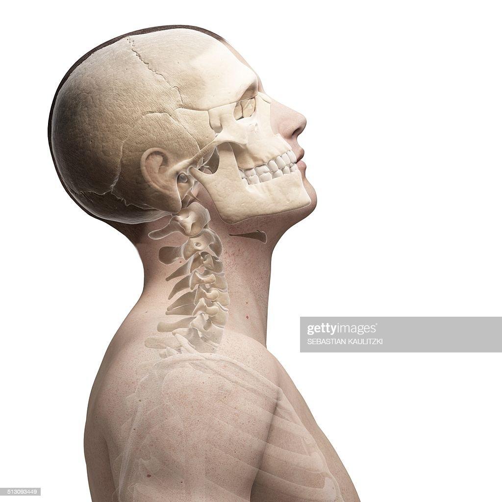 Human skull and neck bones artwork stock illustration getty images human skull and neck bones artwork stock illustration ccuart Choice Image