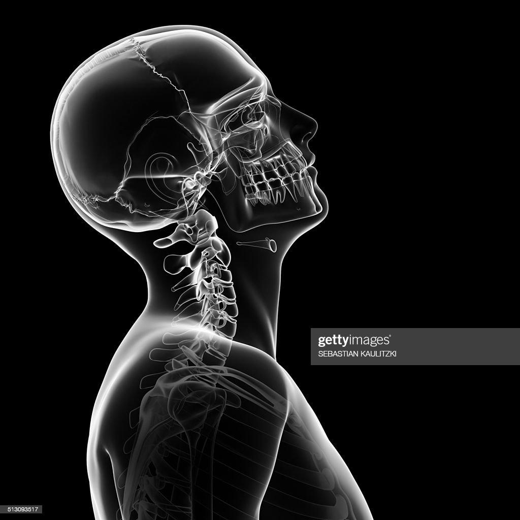 Human Skull And Neck Bones Artwork Stock Illustration Getty Images
