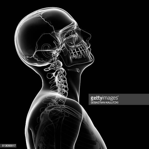 Human skull and neck bones, artwork