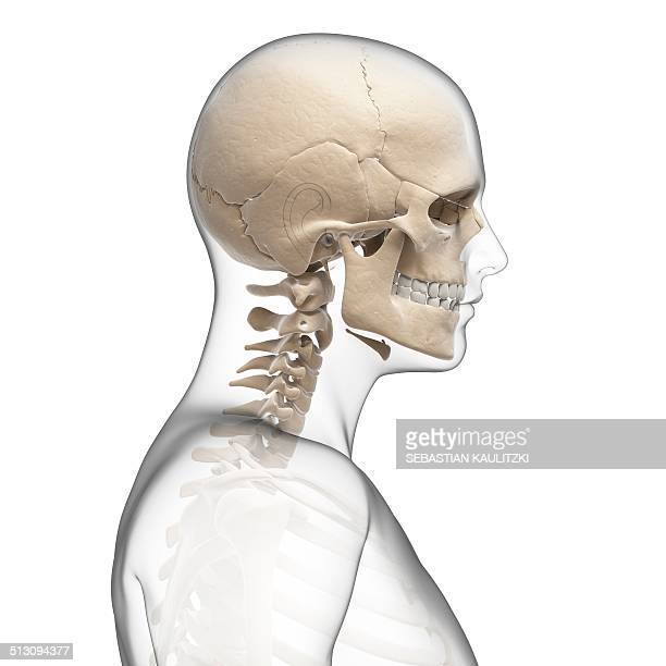 Human Neck Stock Illustrations And Cartoons Getty Images