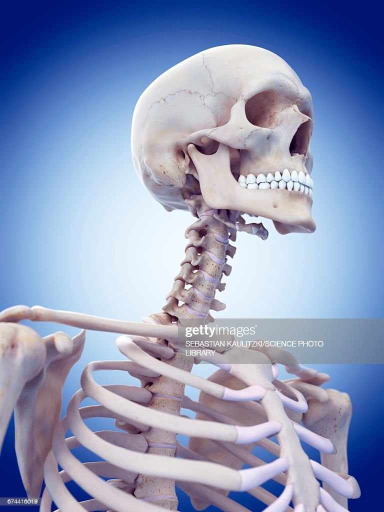 Human skull and neck bones stock illustration getty images human skull and neck bones stock illustration ccuart Gallery