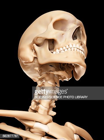Human Skull And Neck Bones Illustration Stock Illustration | Getty ...