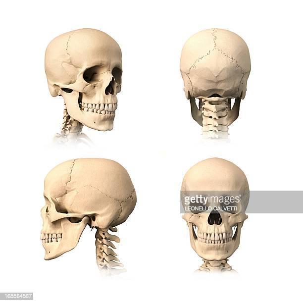human skull, artwork - human skull stock illustrations