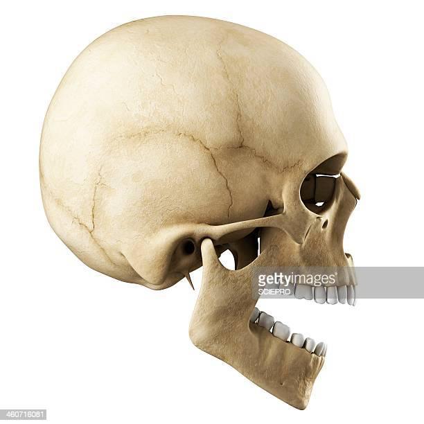 ilustrações de stock, clip art, desenhos animados e ícones de human skull, artwork - caveira