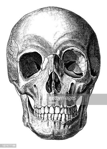 人の頭蓋骨 - 19世紀風点のイラスト素材/クリップアート素材/マンガ素材/アイコン素材