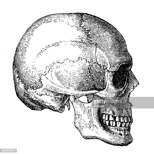 ilustraciones, imágenes clip art, dibujos animados e iconos de stock de cráneo humano  - ilustración biomédica
